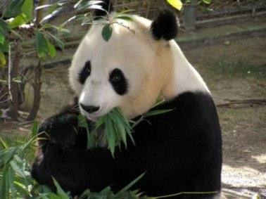 Panda-Zoo-San Diego County - Tourism Attractions